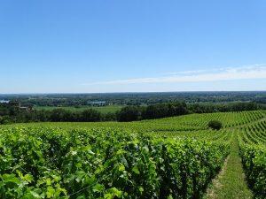 vigne bordeaux